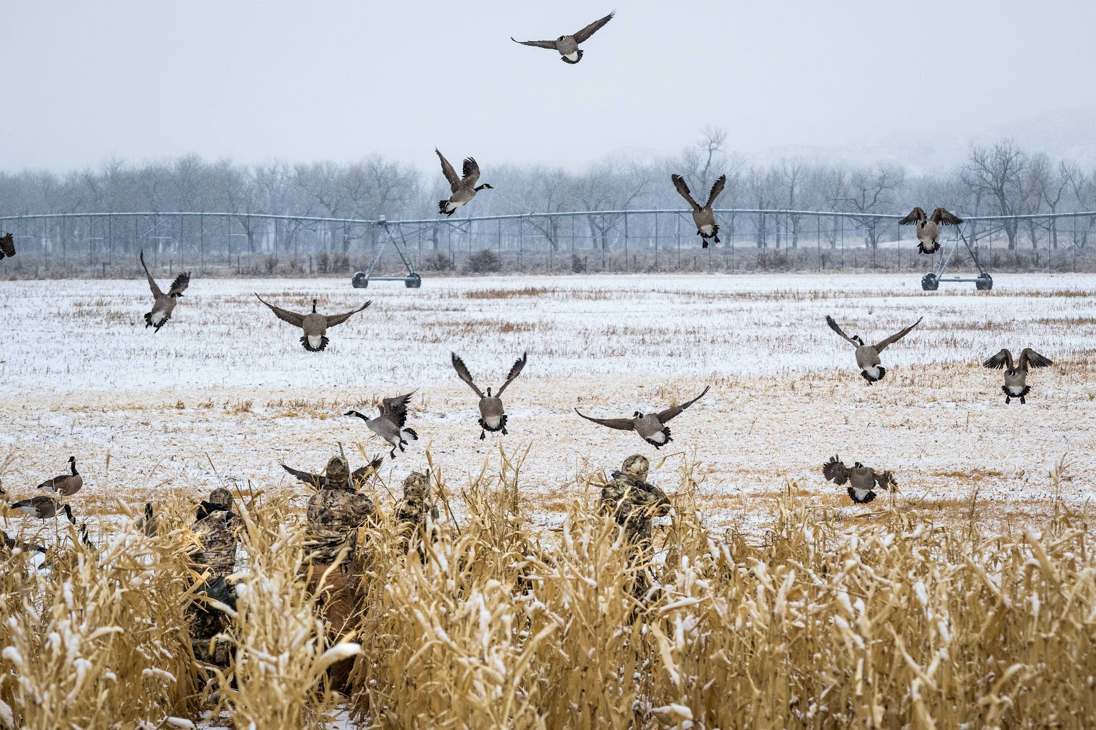 Geese feet down in the decoys in the snow.