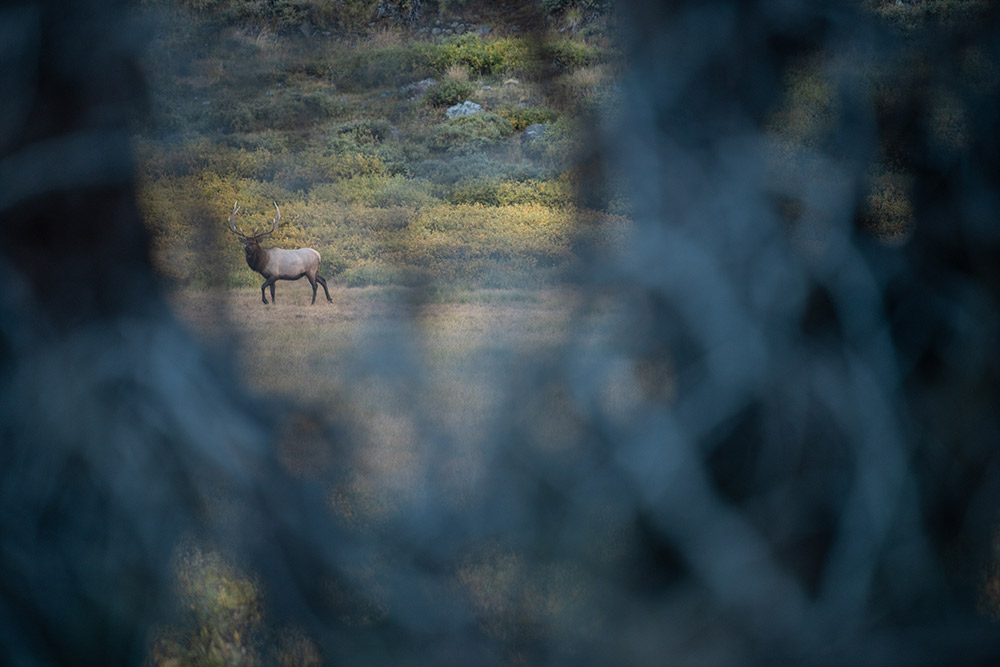 A bull elk off in the distance as a hunter with a trad bow attempts to get in range.