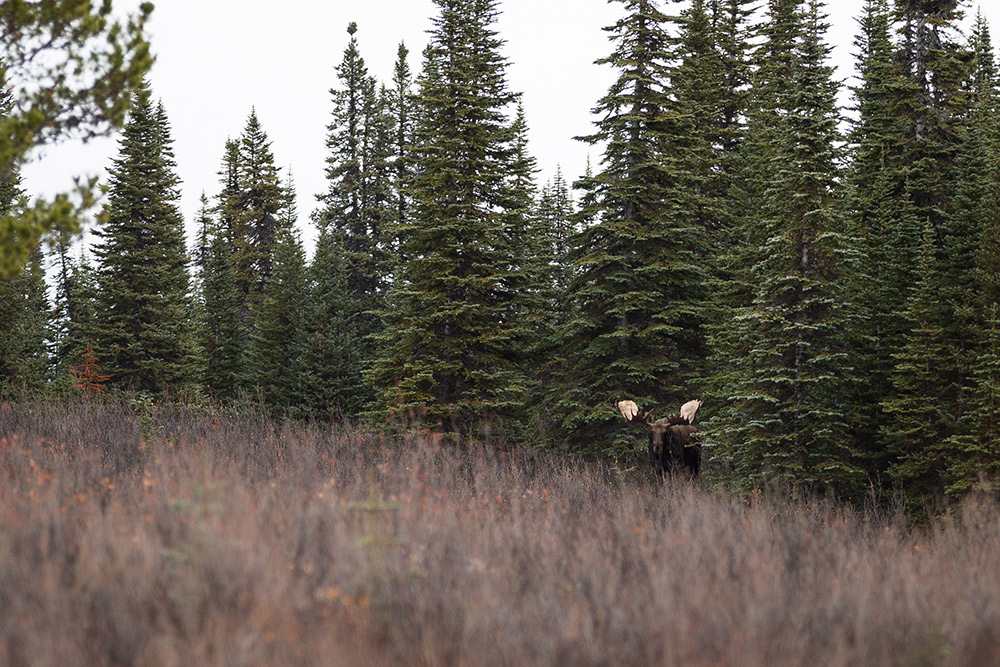 A moose in the bush of northern British Columbia.