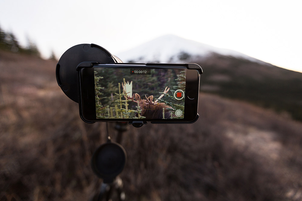Filming a moose on an iPhone.