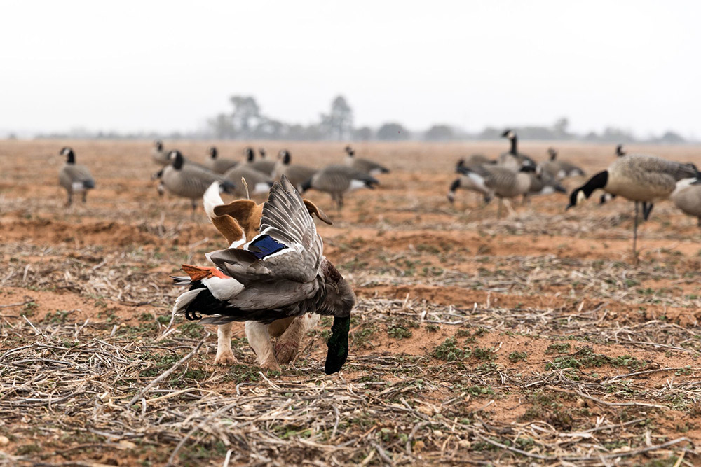 Gator the duck dog retrieving a greenhead in the goose decoys.