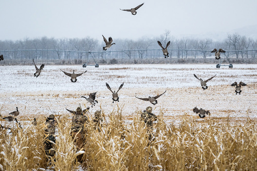Geese are feet down in the decoys on a late season goose hunt.