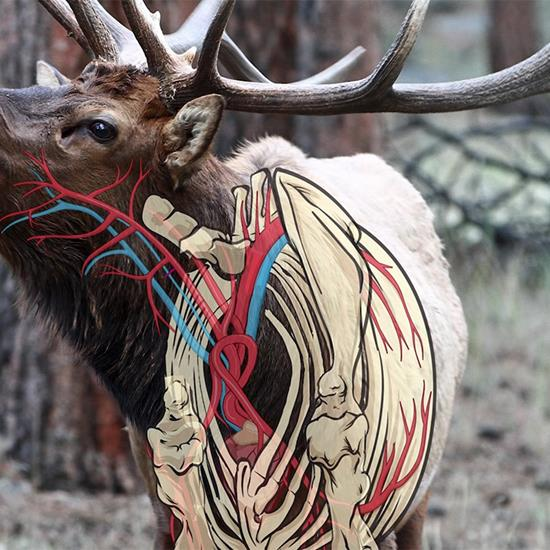 Should You Take a Frontal Shot on an Elk?